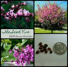 50+ PINK JUDAS TREE SEEDS (Cercis siliquastrum) BONSAI Eastern Redbud Biblical
