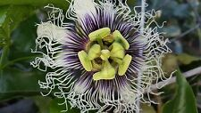 Passion Flower, Heirloom 30 Seed, For Potting - From Florida 100% Organic No Gmo