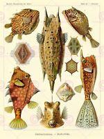 Nature Fish Ostraciontes Ernst Haeckel Biology Germany Vintage Canvas Art Print