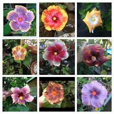5 Graines hibiscus mix hybrides de la reunion