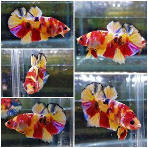 Betta fish Plakat nemo multy colour