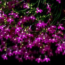 10000 Semillas de Lobelia / Lobelia Pendula Cascade ROSA / Lobelia Erinus
