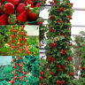 Novelty Fad Red 100 Strawberry Climbing Strawberry Four Season Fruits Seeds JXUK