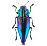 ONE REAL BLUE VIOLET CYPHOGASTRA CALEPYGA BUPRESTID BEETLE INDONESIA