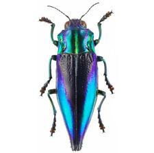 One Real Blue Violet Cyphogastra Calepyga Buprestid Beetle Indonesia