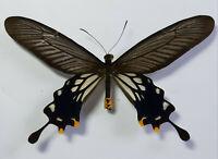 unmounted butterfly HEBOMOIA GLAUCIPPE MINDORANA