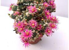 Lobivia cv. Nilo MONSTER FORM NICE FLOWER rare cactus plant 20/6 Gibbaeum hawort