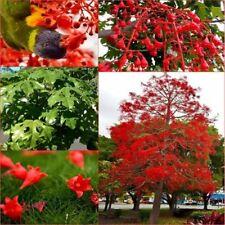 Flame Tree( Brachychiton acerfolius) native plant , stunning  flowers