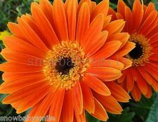 10 Gerbera Jamesonii Daisy Seeds African Barberton Mixed Colors Flower Perennial