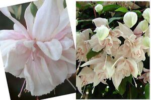 "5 X VERY HEALTHY PINK MARSHMALOW  FUCHSIA  PLUG PLANTS  ""TRAILING"""