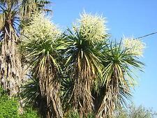 CORDYLINE AUSTRALIS 100 semi seeds samen semillas Dracena australiana
