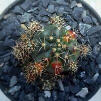 Gymnocalycium damsii f. Kaktus Cactus plant sale succulent 仙人掌 /カクタス : 2.6 cm.