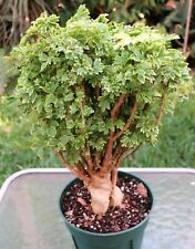 "Aralia Ming Variegated Plant grown in 6 in pot 10"" Tall 9"" Wide"