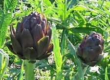 Artichoke Seeds 50 Purple Italian Artichoke Seeds