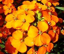 Wallflower Siberian Cheiranthus Allionii - 500 Seeds