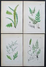 1854 4x FERN Prints Botanical Hand Coloured Prints by Fitch (1)