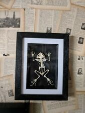 Taxidermy frog  flat skeleton - Mounted in a nice inlay box frame.