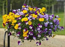 "24 Pansy Freefall Mixed Mini Plug Plants for potting on ""Hanging Baskets"""