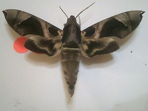 Real Insect/Butterfly/Moth Set Spread B7806 Rare Large European Hawk Moth x 1