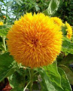 25 Teddy Bear Sunflower Seeds