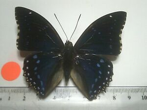 Real Dried Insect/Butterfly/Moth Non set B7613 Charaxes numenes Africa
