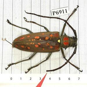 P6911 # Cerambycidae Lucanus insect beetle Coleoptera Vietnam
