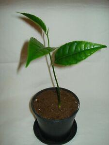 Jackfruit Tree Artocarpus heterophyllus tropical exotic plant fruit tree