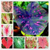 100Pcs Caladium Flower Seeds Rare 6 Kinds Color Perennia Bonsai Garden Open Air