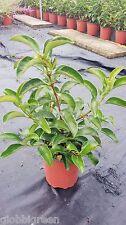 Viburno Lucido vaso 17 (OFFERTA 25 piante)