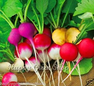 RADISH RAINBOW MIX Red Yellow Purple White 500 seeds - Coloured garden