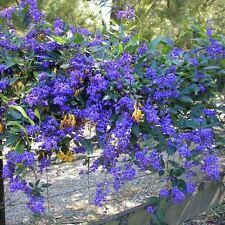 HARDENBERGIA comptoniana Wisteria Sasprarilla Seeds (N 39)
