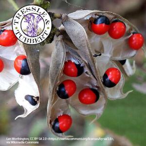 Rare Abrus precatorius Jequirity Crabs eye rosary pea 5 seeds UK SELLER