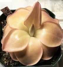 "Pinguicula ""John Rizzi False"" Live Carnivorous Plant Mexican Butterwort (Small)"