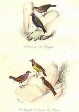 OISEAUX: Bengal, Sénégal redpole; SEREVAN; Maia; Cabaret BENGALI, Sénégali. Buffon; 1841