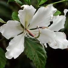 White Flowering Orchid Tree, Alba Bauhinia, well rooted in a 4 inch pot