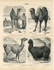 1887 CAMEL DROMEDARY LLAMA ALPACA Antique Engraving Print