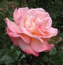 5 PINK ROSE Rosa Bush Shrub Perennial Flower Seeds + Gift & Comb S/H
