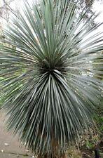 Yucca rostrata Blaublättrige Yucca Pflanze 20cm Big Bend-Yucca Palmlilie selten