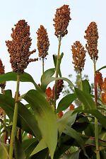 50 Della Sorghum Bicolor Syrup Flour Grain Vegetable Seeds *Combined Shipping!