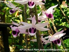 Orchid specie seeds: Dendrobium anosmum - Year 2016