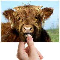 "Ginger Highland Cow Animal - Small Photograph 6"" x 4"" Art Print Photo Gift #8234"