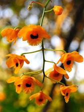 Dendrobium fimbriatum Hook orchid plant