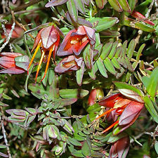 Darwinia citriodora prostrate ( Lemon scented Myrtle ) native plant in 50mm potn