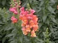 250 ORANGE WONDER SNAPDRAGON Antirrhinum Majus Flower Seeds + Gift & Comb S/H