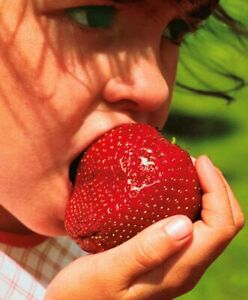 Giant Strawberry Seeds -  Sweet And Juicy -Garden Plant - UK Stock