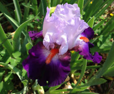 Tall Bearded TB Iris TEAM SPIRIT Royal Blue Lavender perennial Plant Rhizome