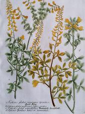 WEINMANN: Phytanthoza Iconographia Cytisus floribus (456) - 1737