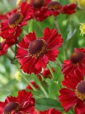3 x HELENIUM 'RED JEWEL' Rich Dusky Red Flowers - PLUG PLANT