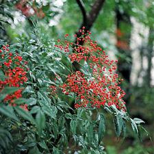 "Five Nandina domestica Red Heaveny Bamboo Tree Live Plant Bonsai Standard 5-12"""