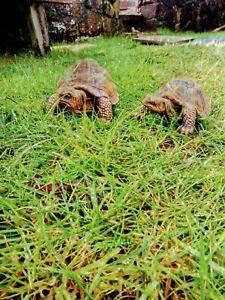 Tortoise garden ornament x 2